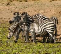 Africa By Foot Tours 2018 - 2019 -  Zebra's of Luangwa