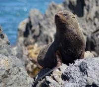 New Zealand Grand Tour Tours 2017 - 2018 -  Fur Seal sitting on the Wellington Coast