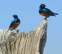 Untouched Tanzania Tours 2019 - 2020 -  The Superb Starling