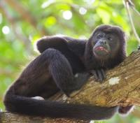 Costa Rica Ultimate Wildlife Adventure Tours 2018 - 2019 -  Howler Monkey near Corcovado