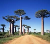 Baobabs and Tsingy Explorer Tours 2018 - 2019 -  Alley of Baobabs